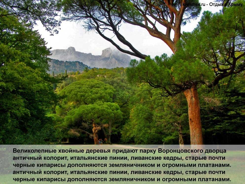 Великолепные хвойные деревья придают парку Воронцовского дворца античный колорит, итальянские пинии, ливанские кедры, старые почти черные кипарисы дополняются земляничником и огромными платанами. античный колорит, итальянские пинии, ливанские кедры, старые почти черные кипарисы дополняются земляничником и огромными платанами.