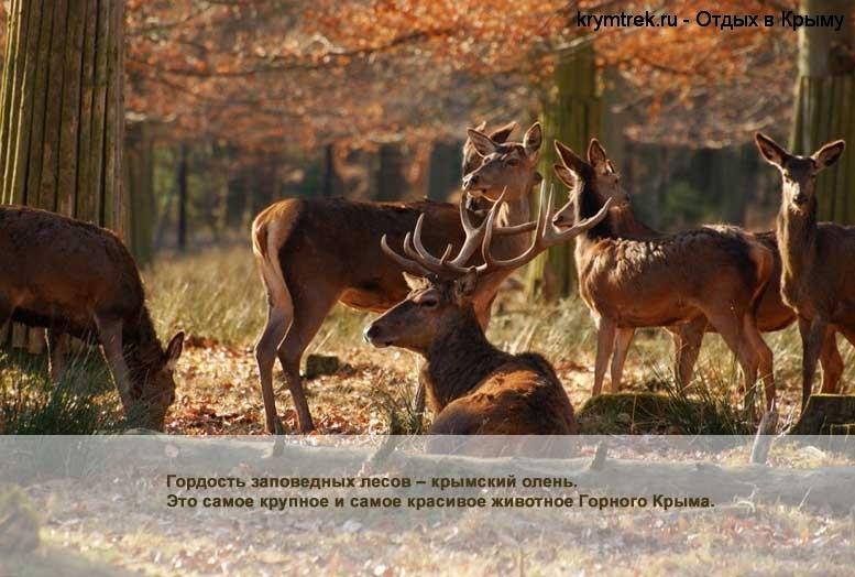 Гордость заповедных лесов – крымский олень. Это самое крупное и самое красивое животное Горного Крыма.