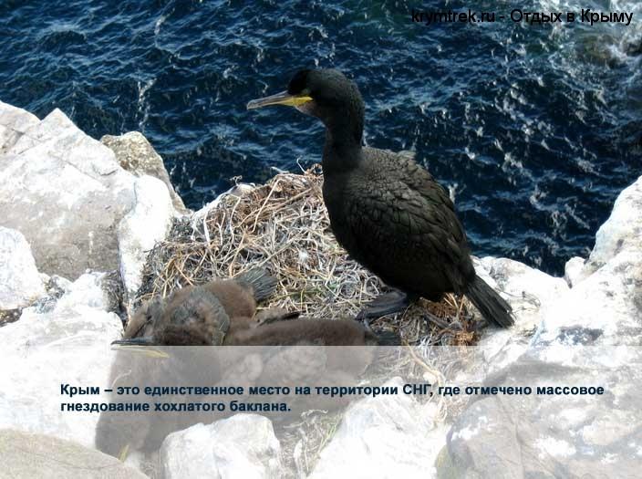 Крым – это единственное место на территории СНГ, где отмечено массовое гнездование хохлатого баклана.
