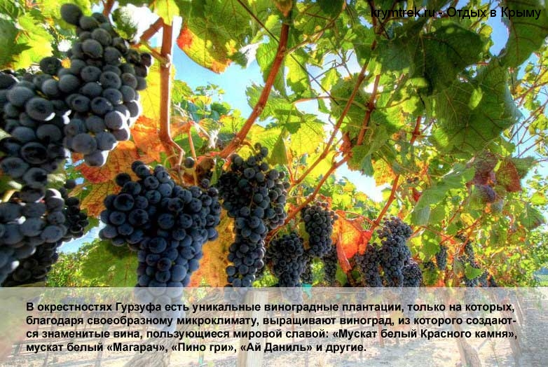 В окрестностях Гурзуфа есть уникальные виноградные плантации, только на которых, благодаря своеобразному микроклимату, выращивают виноград, из которого создаются знаменитые вина, пользующиеся мировой славой: «Мускат белый Красного камня», мускат белый «Магарач», «Пино гри», «Ай Даниль» и другие.