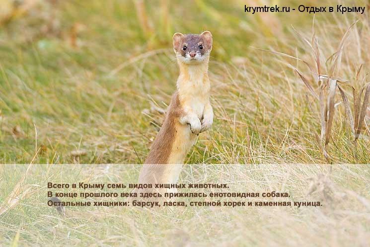 Всего в Крыму семь видов хищных животных. В конце прошлого века здесь прижилась енотовидная собака. Остальные хищники: барсук, ласка, степной хорек и каменная куница.