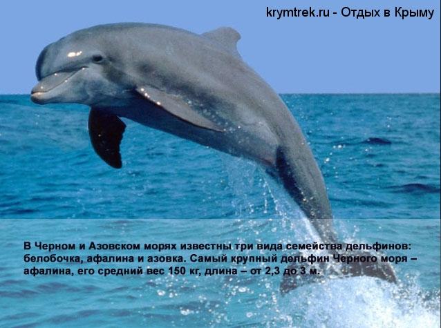 В Черном и Азовском морях известны три вида семейства дельфинов: белобочка, афалина и азовка. Самый крупный дельфин Черного моря – афалина, его средний вес 150 кг, длина – от 2,3 до 3 м.
