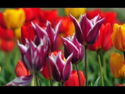 Крым Ялта ПАРАД ТЮЛЬПАНОВ / Никитский ботанический сад / Вид с высоты 500м