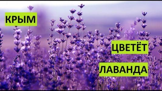 Крым. Зацвела лаванда.