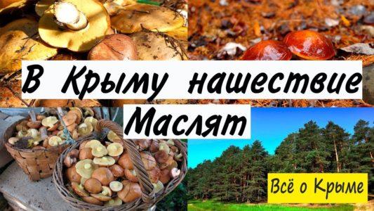 В Крыму нашествие маслят. Столько грибов я еще не видел!!!